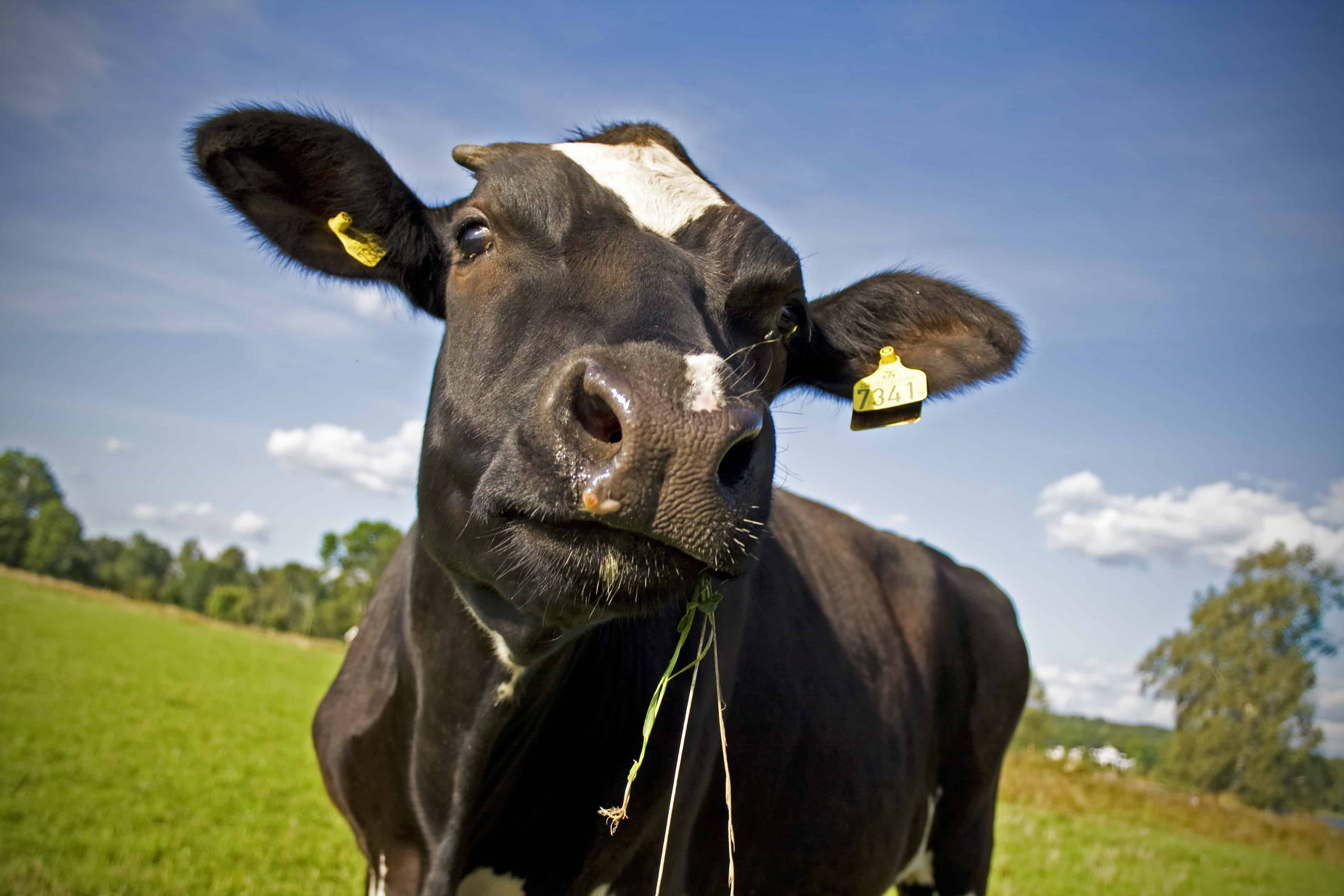 Nagy növekedés az élő szarvasmarha exportban